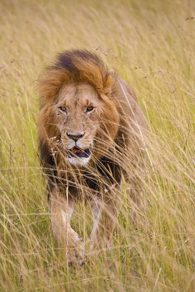 Lion (Panthera Leo), Masai Mara National Reserve, Kenya, Africa