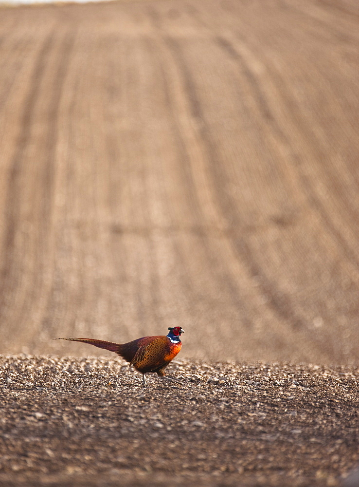Pheasant Standing On The Ground