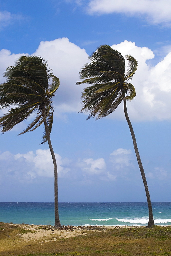 Palm Trees On Beach, Carribbean, Cuba