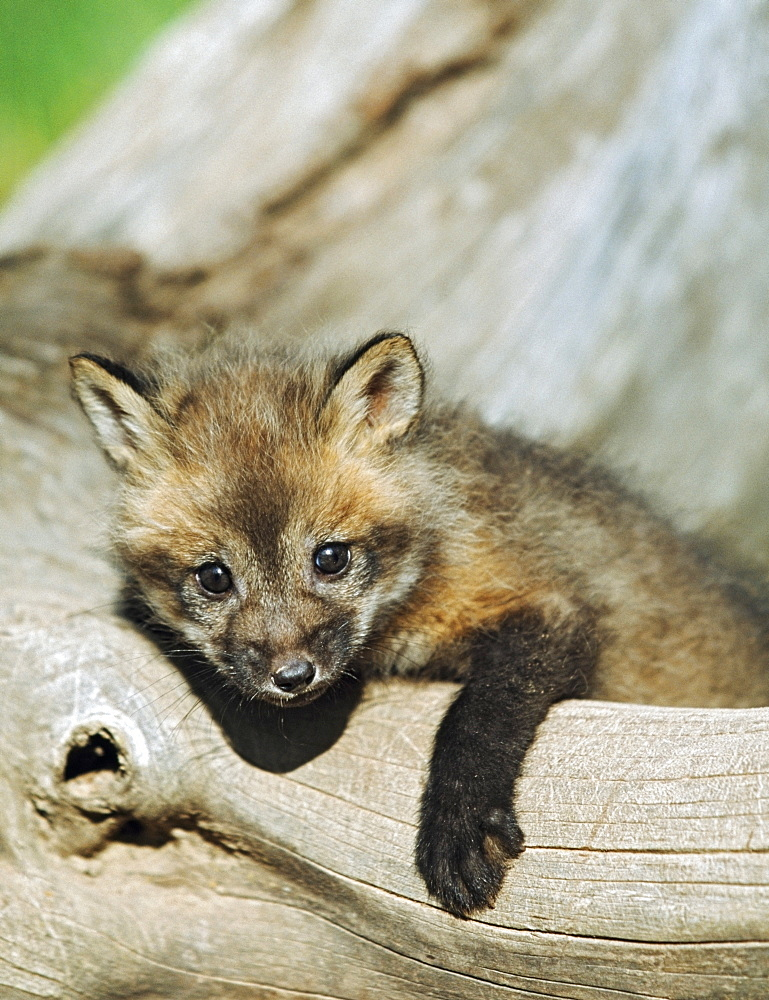 Red Fox (Vulpes Vulpes) Kit On A Log, Montana, Usa