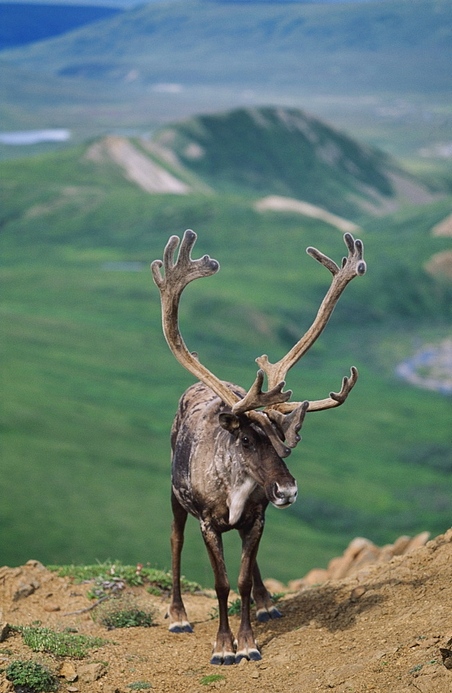 Caribou Bull (Rangifer Tarandus) With Velvet Antlers, Denali National Park And Preserve, Alaska, Usa