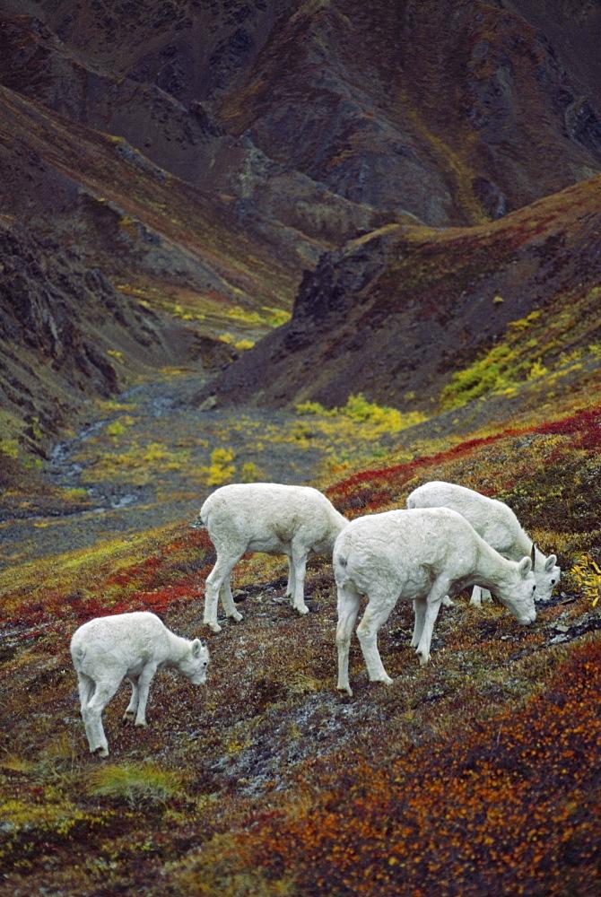 Dall Sheep (Orvis Dalli), Ewes With Lambs, Denali National Park And Preserve, Alaska, Usa