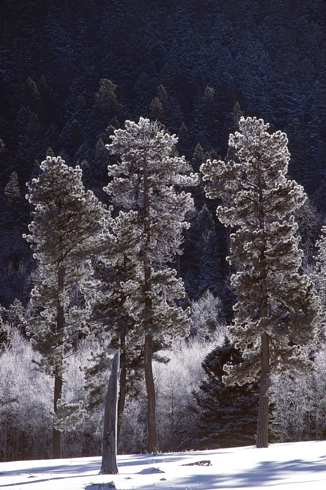 Frost On Ponderosa Pines (Pinus Ponderosa), Jamez Mountains, New Mexico, Usa