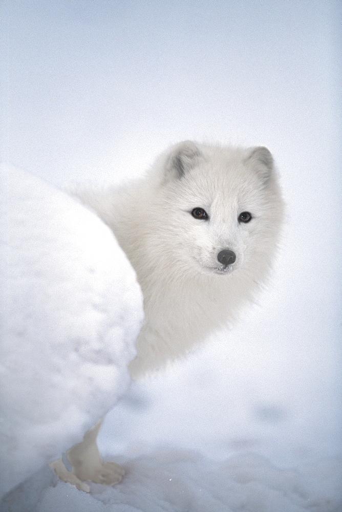 Arctic Fox Exploring Fresh Snow, Alaska, Usa