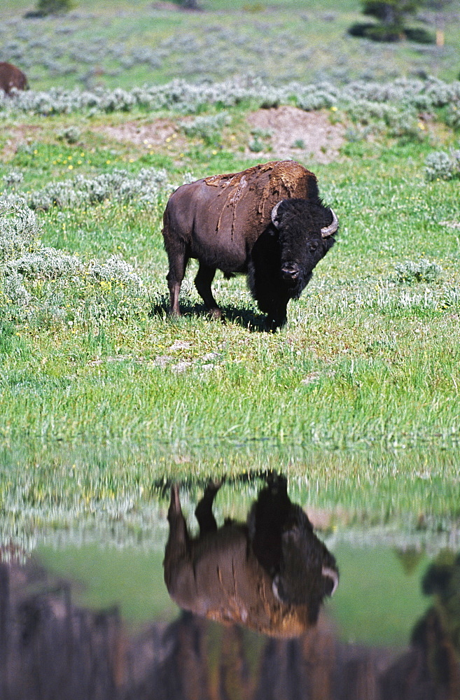 Bison Reflected In Stream In Grassland