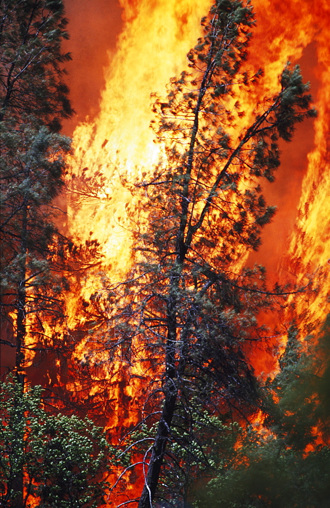 Huge Flames From Wildfire, Shasta-Trinity National Forest, California, Usa