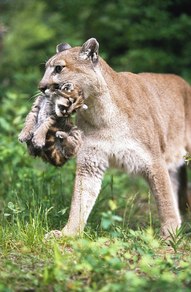 Mountain Lion Carrying Cub By The Nape Of Its Neck