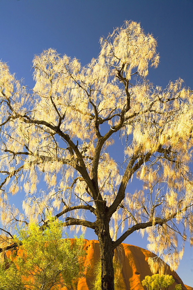 Tree Against The Sky At Ayers Rock, Australia