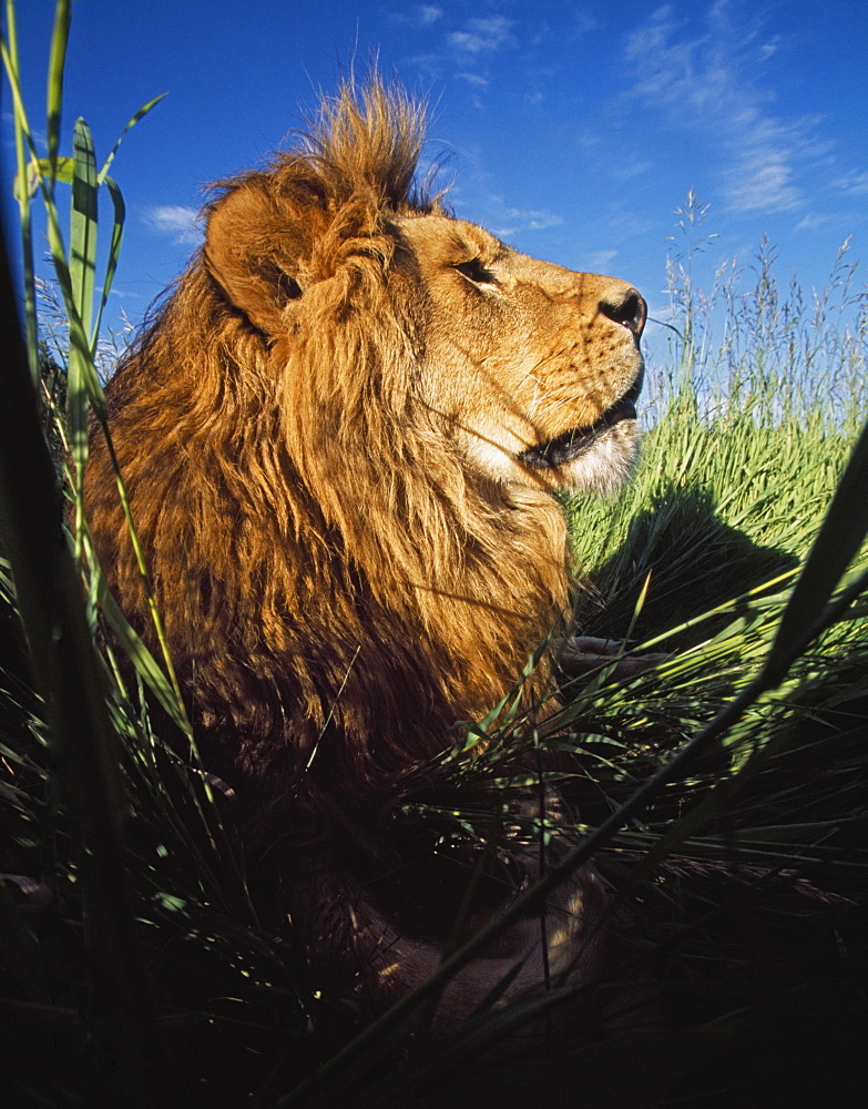 Lion (Panthera Leo) With Big Mane Laying In Tall Green Grass