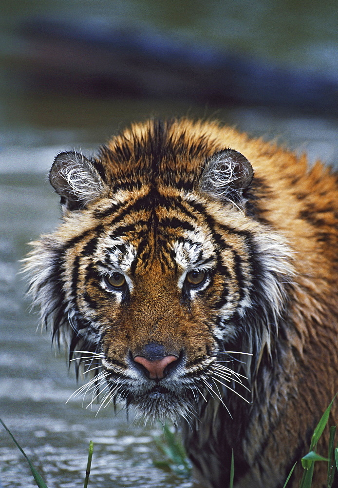 Portrait Of Wet Siberian Tiger