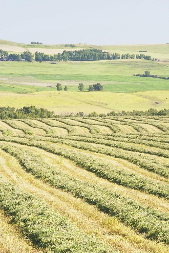 Alberta, Canada, Cut Canola Field And Rolling Hills