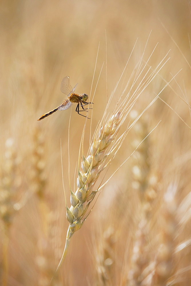 Close Up Of Wheat Head And A Dragonfly