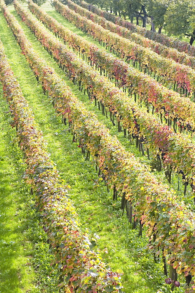 Grapevines In Autumn, Spitz, Austria