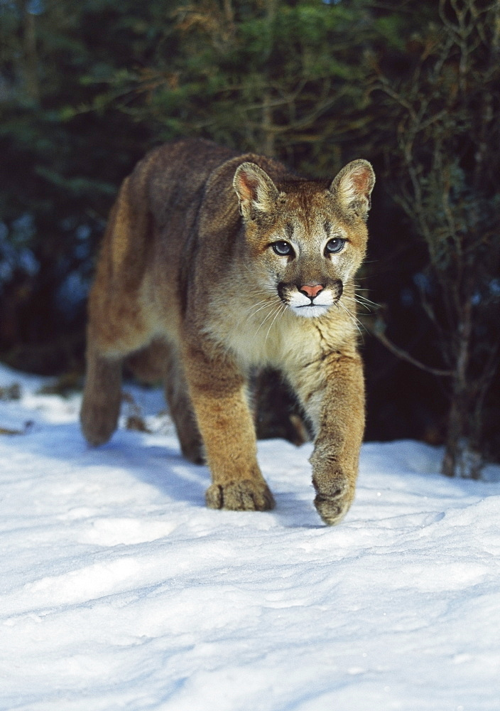 Mountain Lion (Felis Concolor), Idaho, Usa