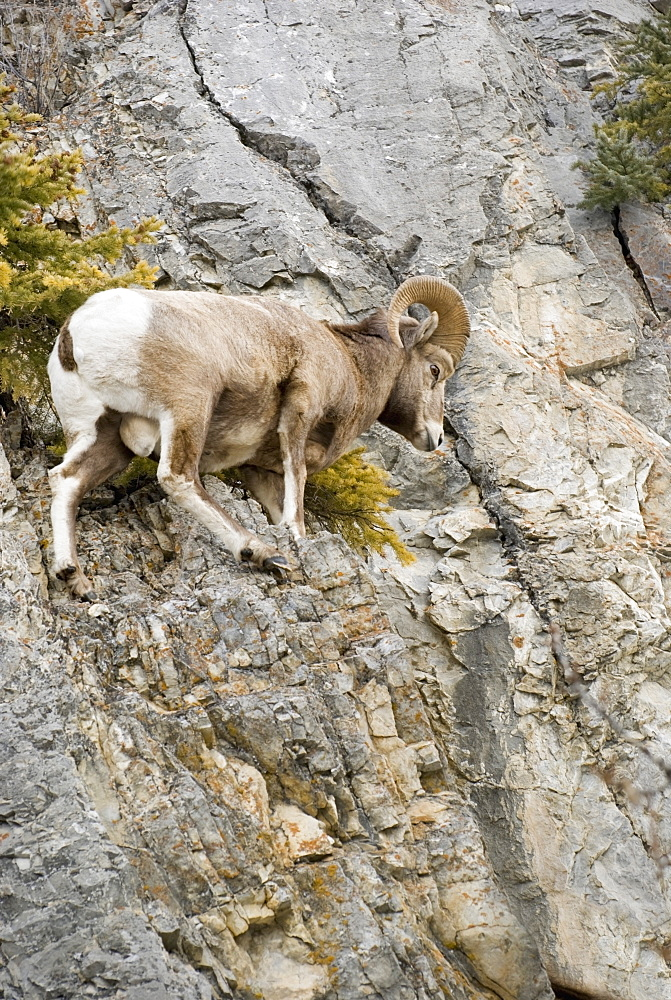 Banff, Alberta, Canada, Mountain Sheep Precariously Perched On A Cliff Face