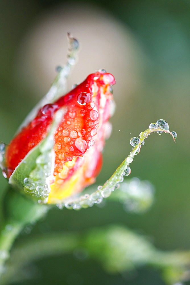 Water Drops On A Closed Tulip - 1116-41321