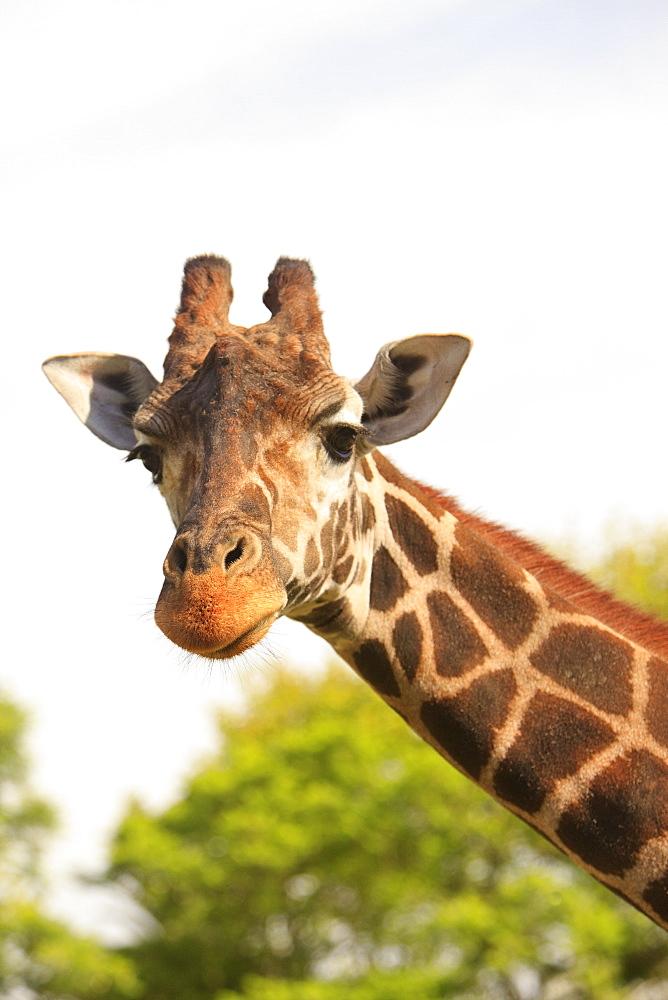 Buenos Aires, Argentina, Giraffe (Giraffa Camelopardalis) In Palermo Zoological Gardens