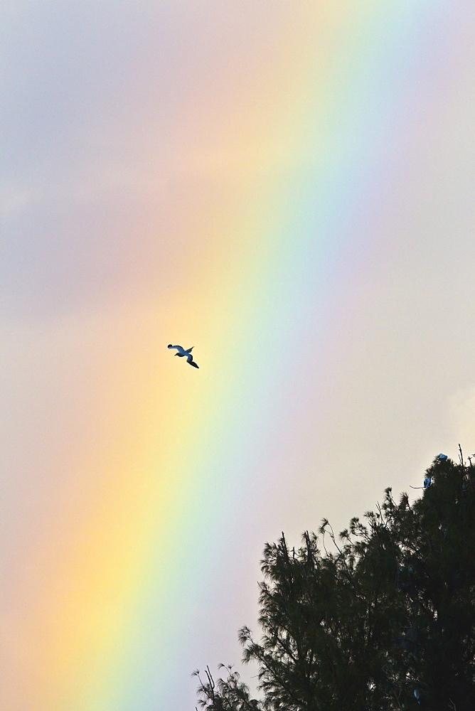 Hawaii, United States Of America, Red-Footed Booby (Sula Sula) In Flight With Rainbow Background