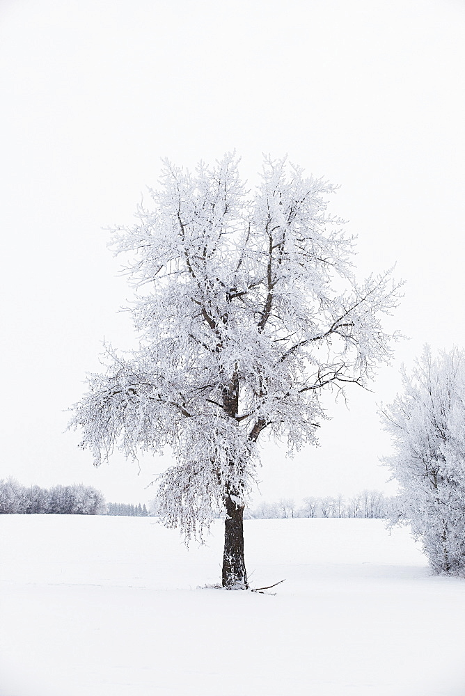 Parkland County, Alberta, Canada, A Tree And Field Covered In Snow