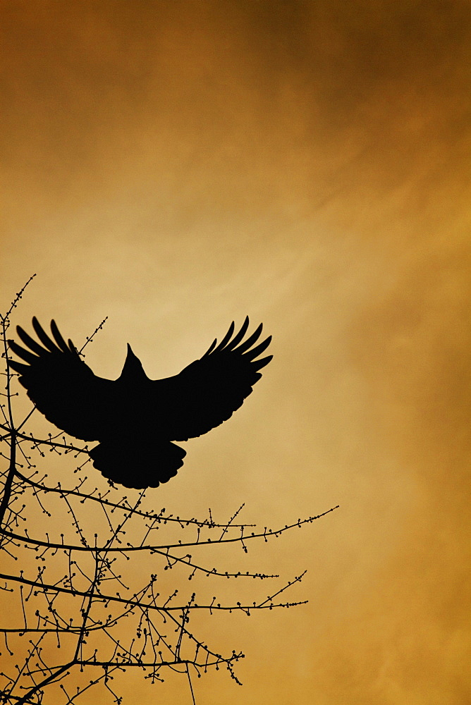 A Crow Flies By A Tree Under A Sunset Sky, Vancouver, British Columbia, Canada
