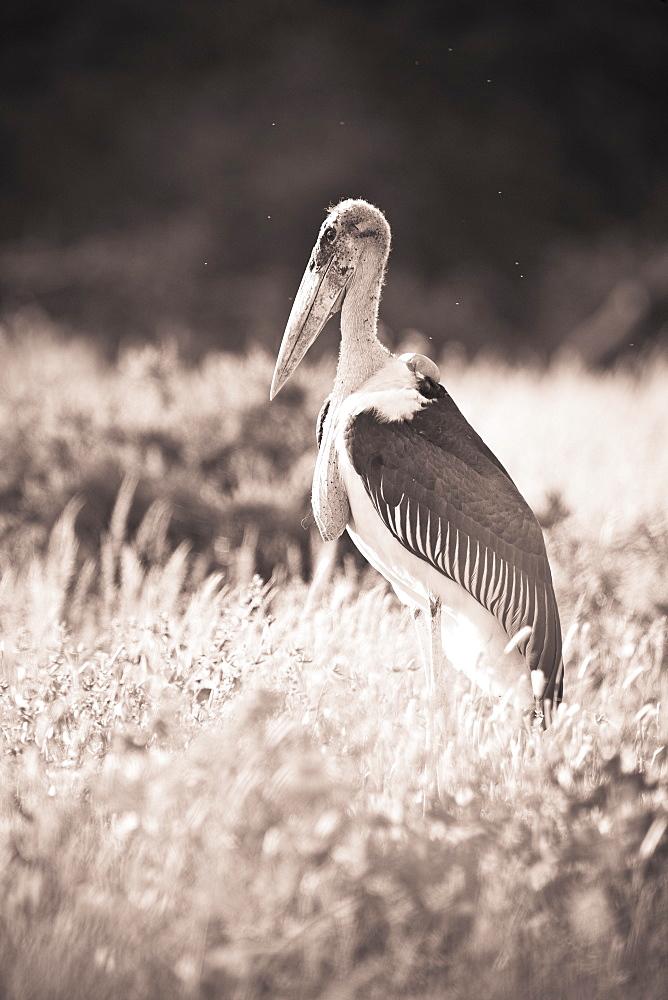 A Large Bird Stands In The Grass, Samburu, Kenya