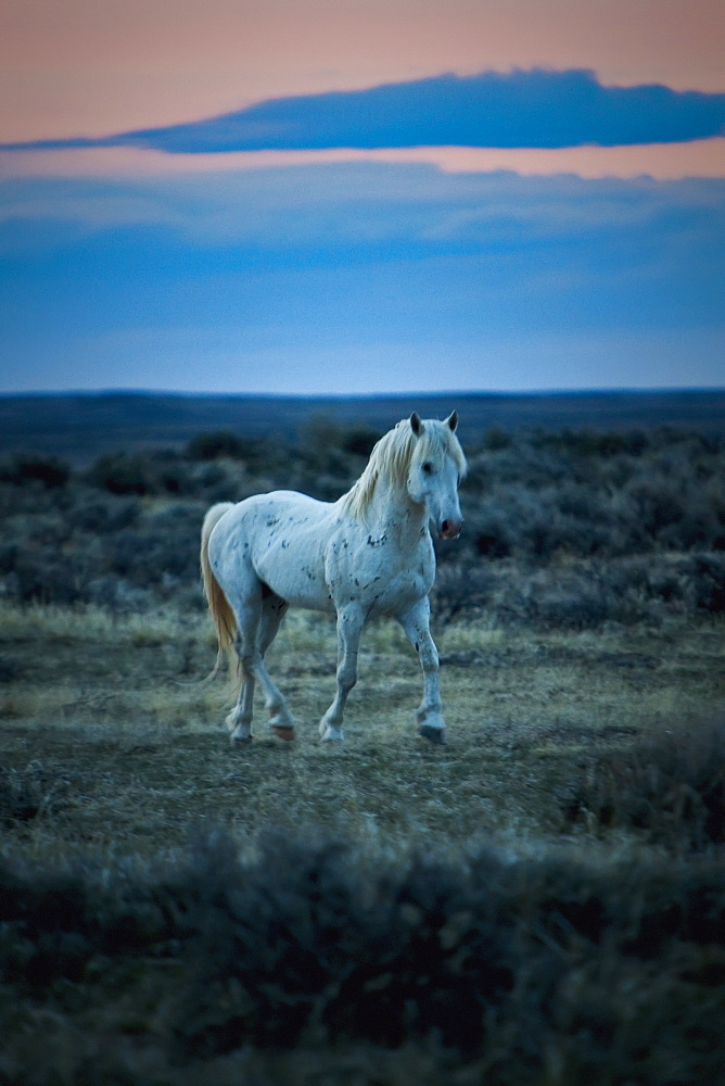 Wild Mustang Trotting On A Field At Sunset, Wyoming, United States Of America