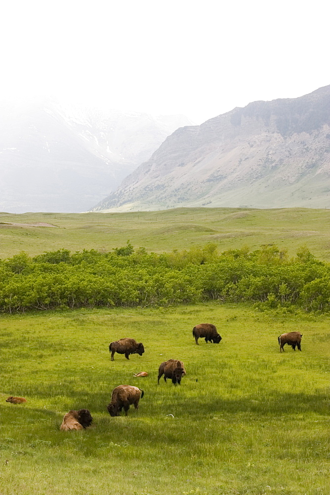 Buffalo (Bison Bison) In Rocky Mountain Foothills, Waterton Lakes National Park, Alberta, Canada.