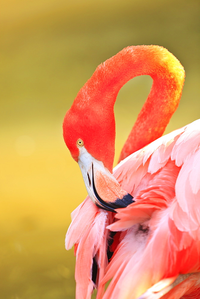 Caribbean Flamingo (Phoenicopterus Rube) At The San Diego Zoo, San Diego California United States Of Americ