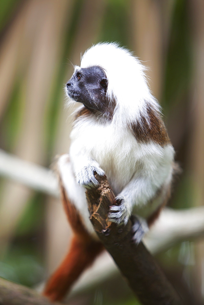 A Cotton-Top Tamarin Monkey (Saguinus Oedipus) At The Singapore Zoo, Singapore