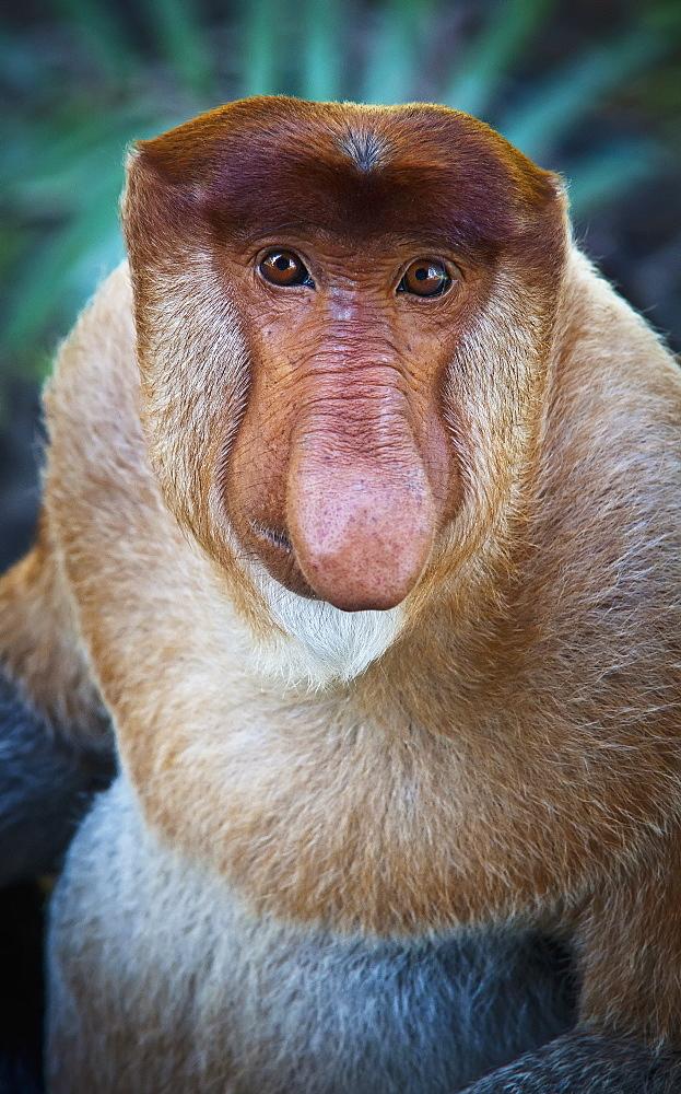 Proboscis monkey (nasalis larvatus), Borneo