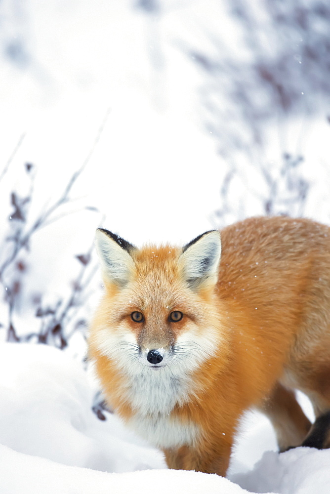 Red fox (vulpes vulpes) in the snow along the shores of the hudson's bay, Churchill manitoba canada