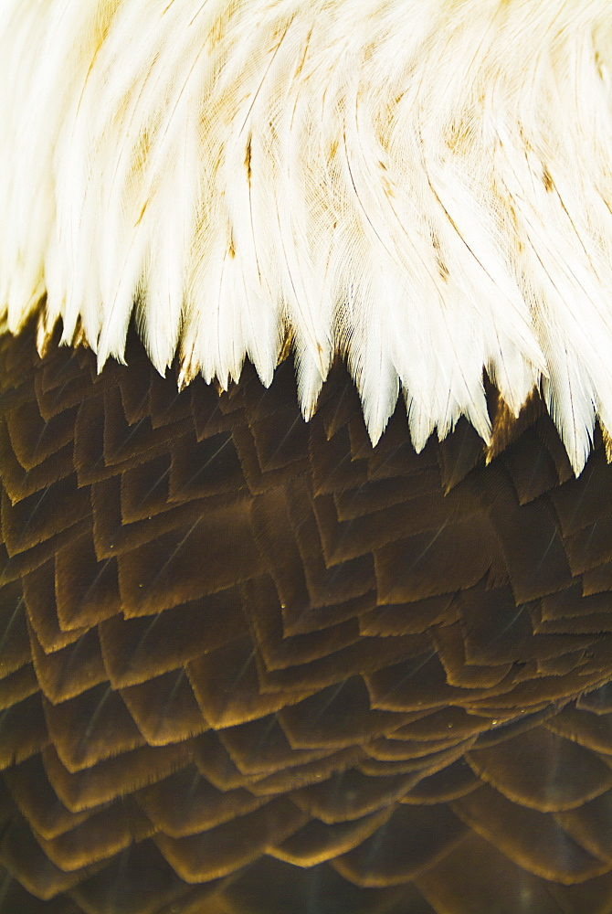 A close-up shot of the back of a live bald eagle, Homer alaska united states of america