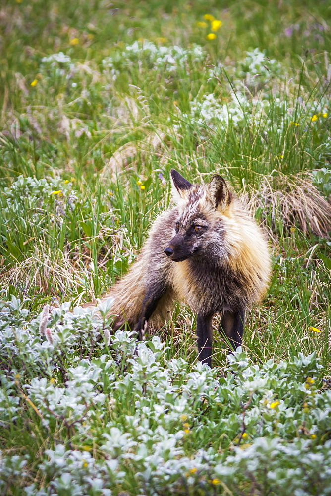 Close Up Of A Cross Fox (Vulpes Vulpes) In Green Tundra And Wildflowers In Denali National Park, Alaska, United States Of America