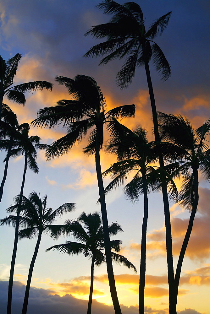 Silhouetted Palm Trees At Sunset On The North Shore Of Maui, Spreckelsville, Maui, Hawaii, United States Of America