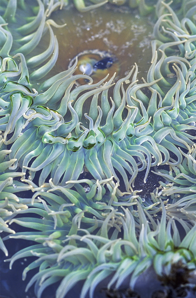 A Green Sea Anemone, Oregon, United States Of America