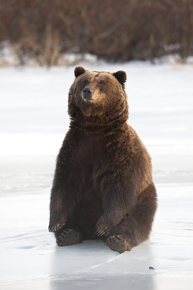 A Brown Bear Sits On A Frozen Lake