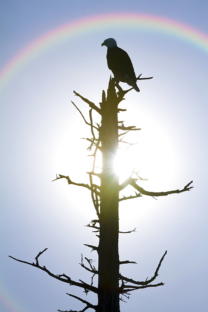 Silhouette Of A Bird Sitting On The Top Of A Dead Tree With A Rainbow Over It's Head