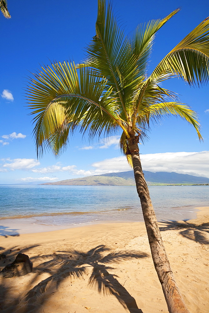 Palm Tree With West Maui Mountains In Distance, Kihei, Maui, Hawaii, United States Of America