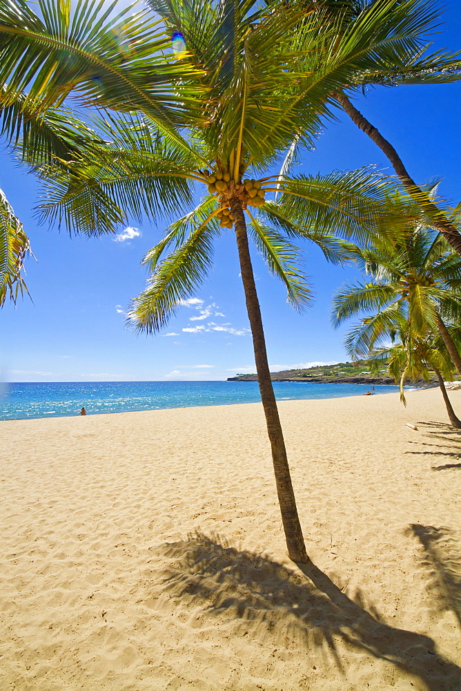 Palm Tree On Hulopoe Beach, Manele Bay, Lanai, Hawaii, United States Of America