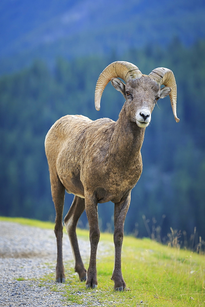 Bighorn Sheep (Ovis Canadensis), Banff National Park, Alberta, Canada