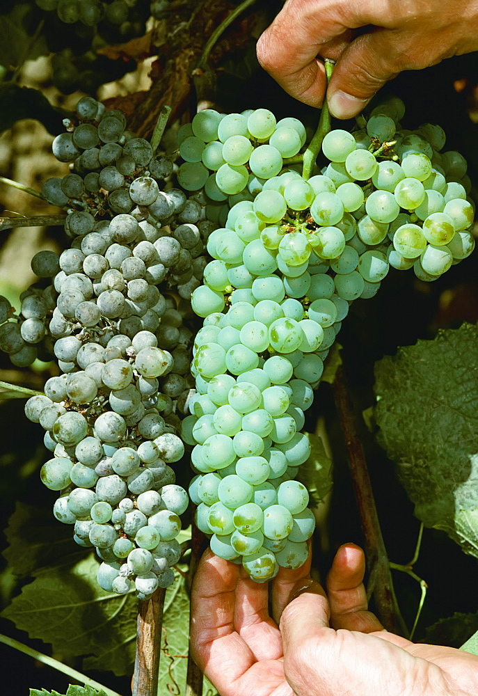 Agriculture - Grape powdery mildew (Uncinula necator), comparison of infected wine grapes (left) and healthy grapes (right).