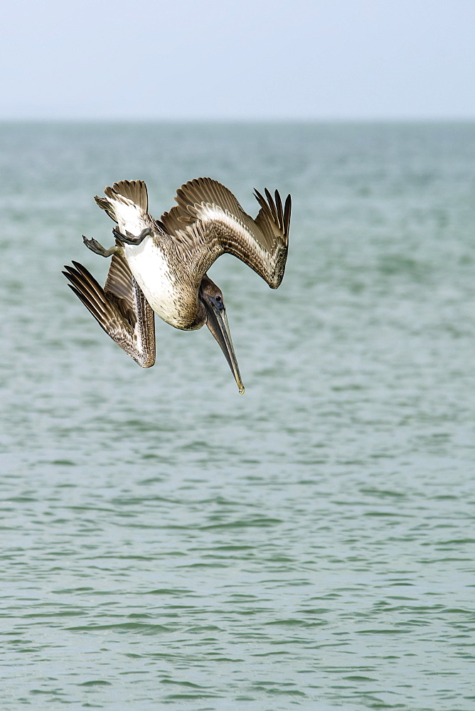 Brown Pelican (Pelecanus Occidentalis) Diving Into The Water, Lover's Key State Park, Florida, United States Of America