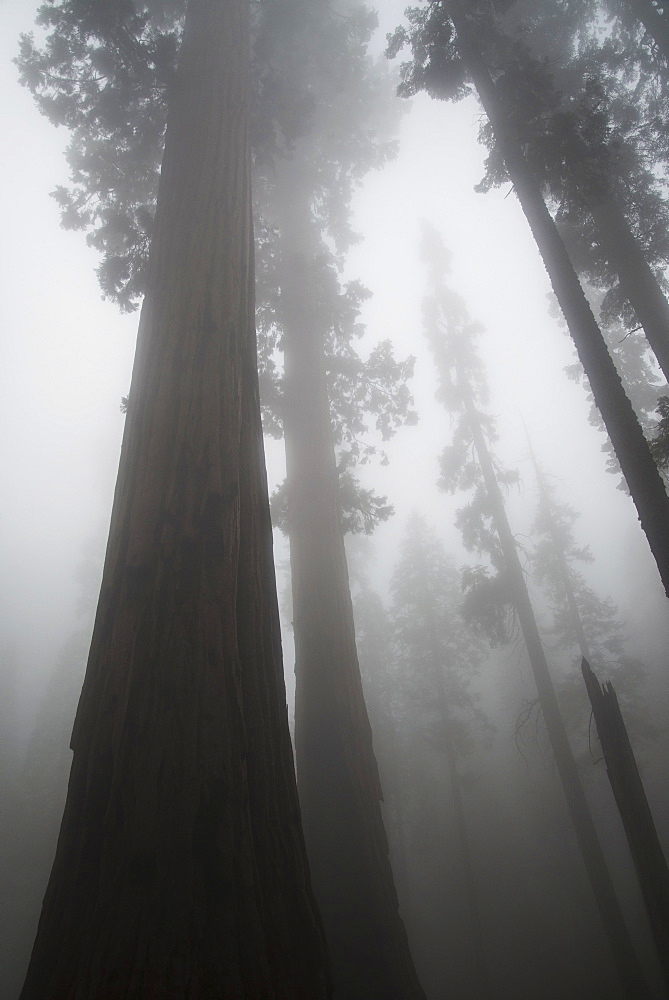 Sequoia National Park, California, United States Of America