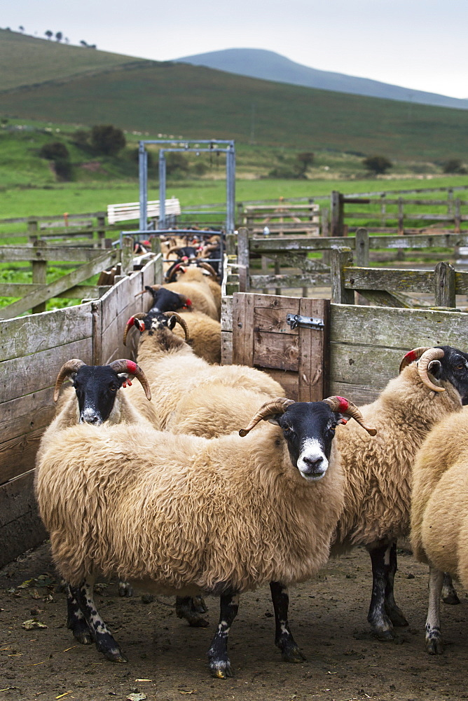 Sheep In A Pen With Ears Tagged, Northumberland, England