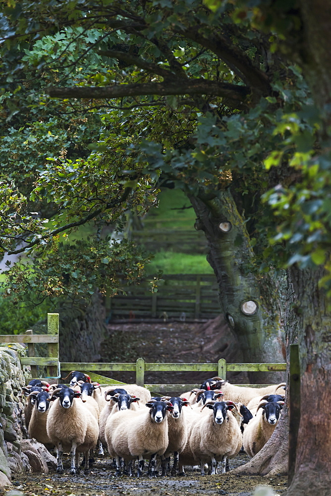 Flock Of Sheep Standing Under A Tree, Northumberland, England