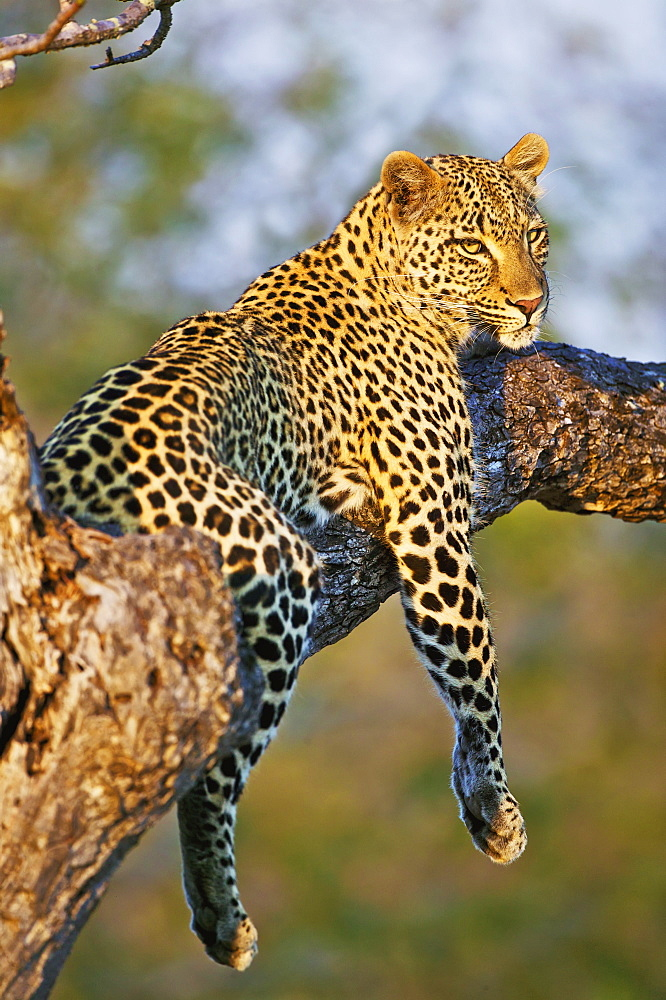 Leopard (Panthera Pardus) Relaxes In A Tree In The Late Afternoon Sunshine, Kruger National Park, Limpopo, South Africa
