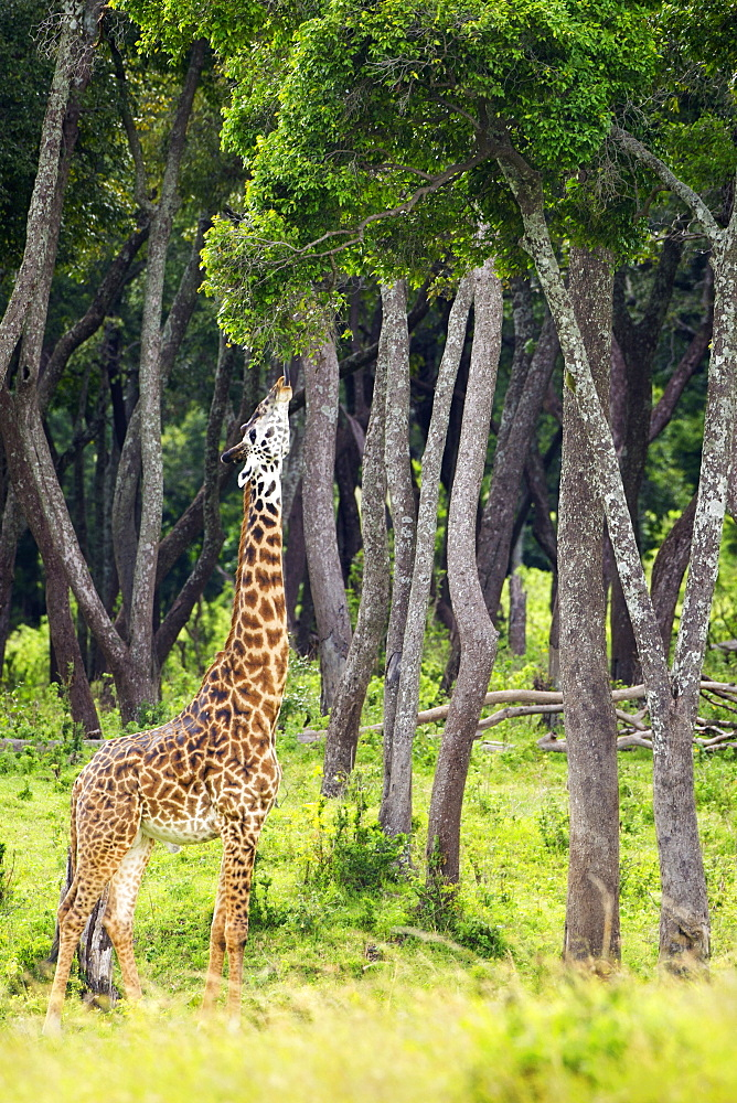 Giraffe Eating Tree Leaves, Located At The Serengeti Plains, Tanzania