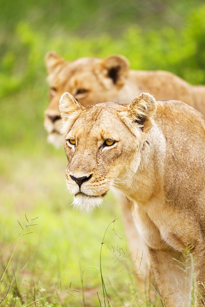 Two Female Lions On The Prowl At The Serengeti Plains, Tanzania