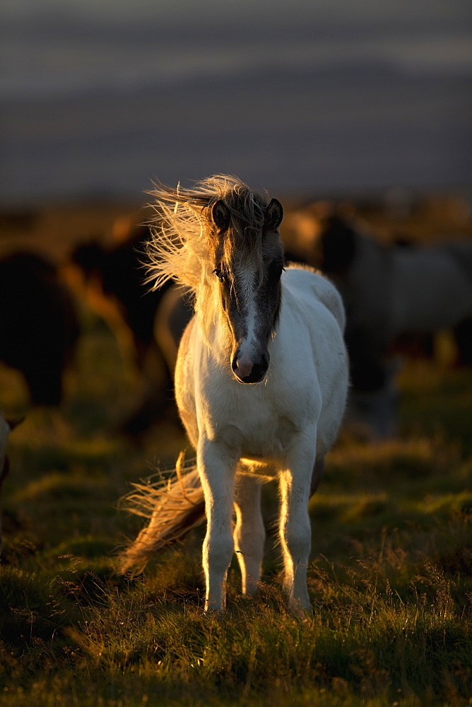 Icelandic Horse At Sunset With Long Mane Blowing In The Wind, Iceland - 1116-43140
