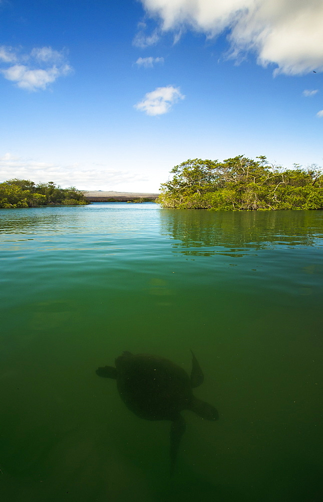 Pacific Green Turtle Swimming In Mangroves, Isabela Island, Galapagos Islands, Ecuador